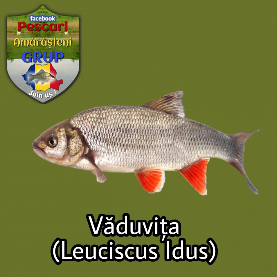 Văduvița (Leuciscus idus)